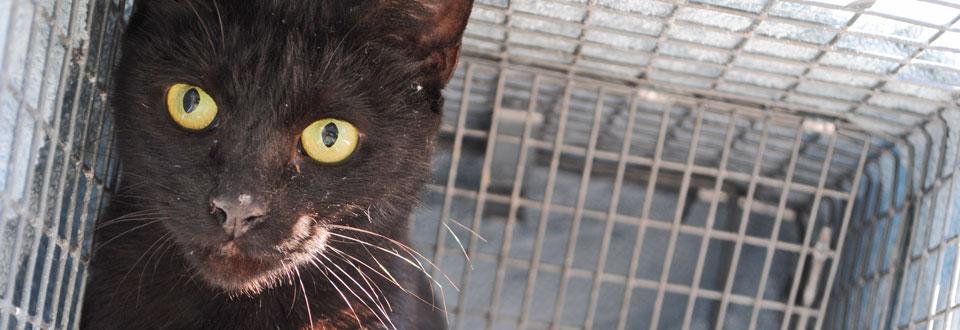 TNR: Trap-Neuter-Return as a form of feral cat management